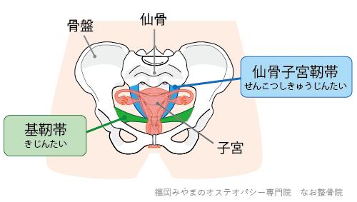 仙骨子宮靭帯と基靭帯