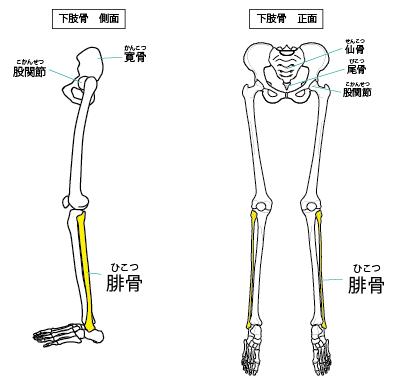 腓骨と骨盤