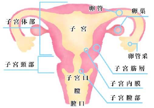 子宮 卵巣 卵管