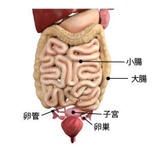 腸と子宮の位置
