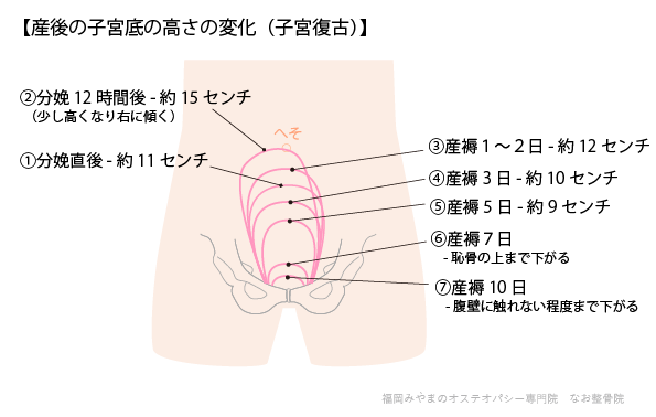 産後の子宮底の高さの変化(子宮復古)