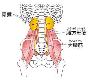 大腰筋と腰方形筋と腎臓の位置関係