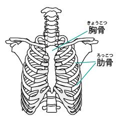 胸骨 肋骨