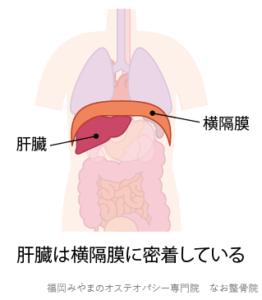 横隔膜と肝臓の位置