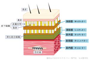 筋膜の構造