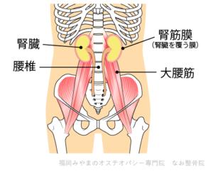 大腰筋 腎臓 腎筋膜